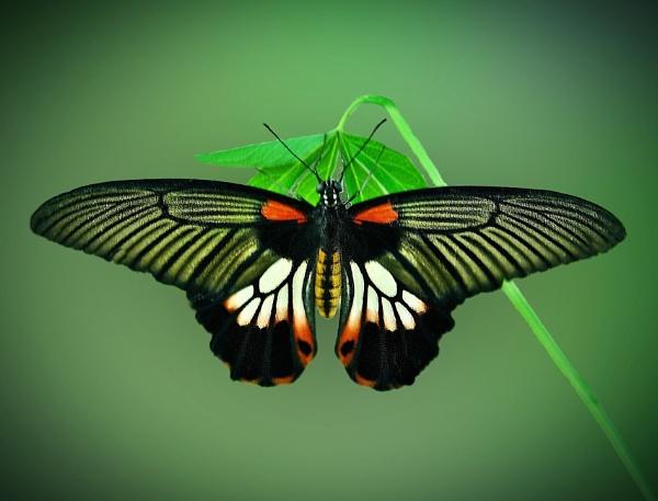 Papilio by Delbon