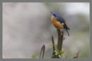 Blue Headed Rock Thrush -Minoticola cinclorhynchus by prabhusinha