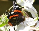 Red Admiral by HobbitDave