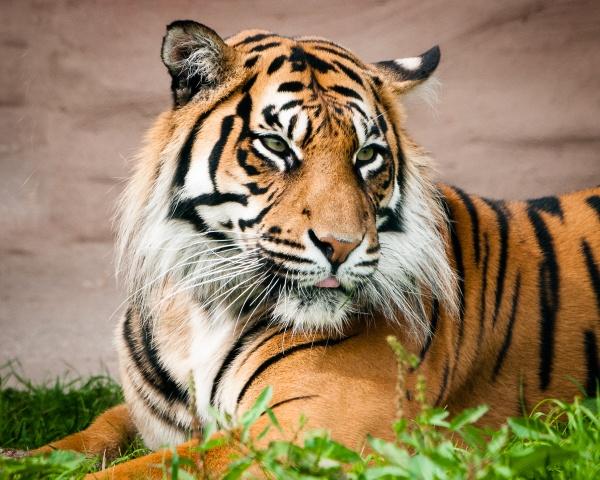 Tiger 2 by JFitz