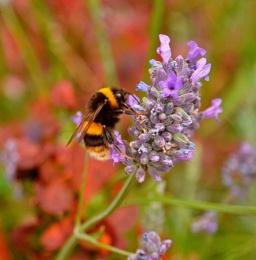 Bumble Bee close up.
