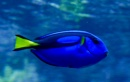 BLUE TANG by sparrowhawk