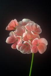 Pink Geranium,