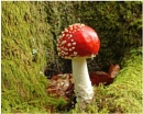 """Fly Agaric"" by RonnieAG"