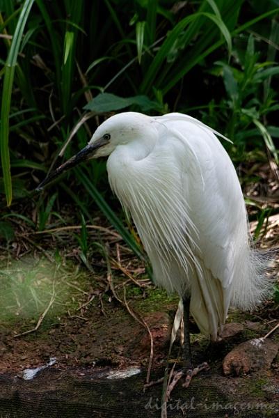 Little Egret by Alan_Baseley