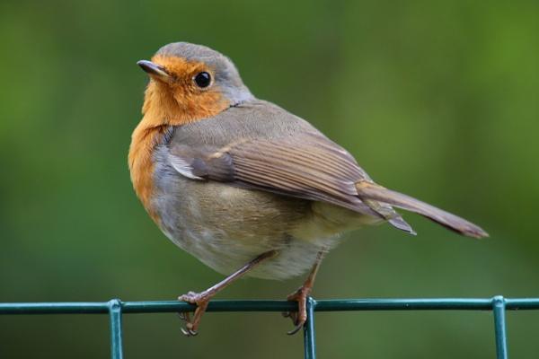 Robin by peterkin