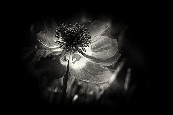 Anemone by vivdy