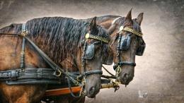 Cart Horses.