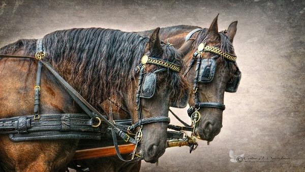 Cart Horses. by colijohn