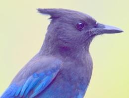Mr.  Stellar  Jay  Portrait