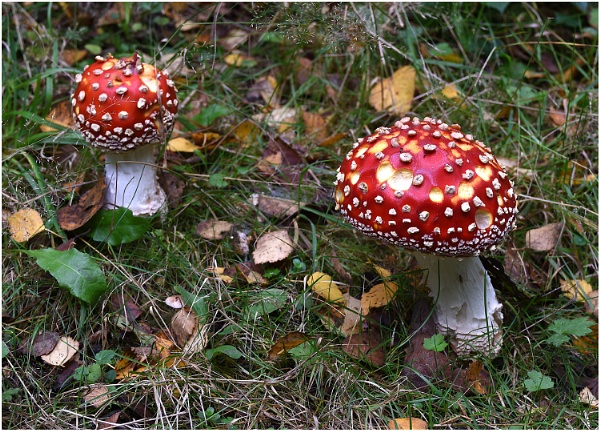 Fly Agaric by johnriley1uk