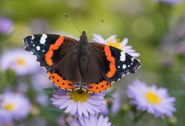 Red admiral by Danny1970