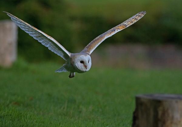 Barn Owl by KevR