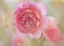 Rose by janedibnah