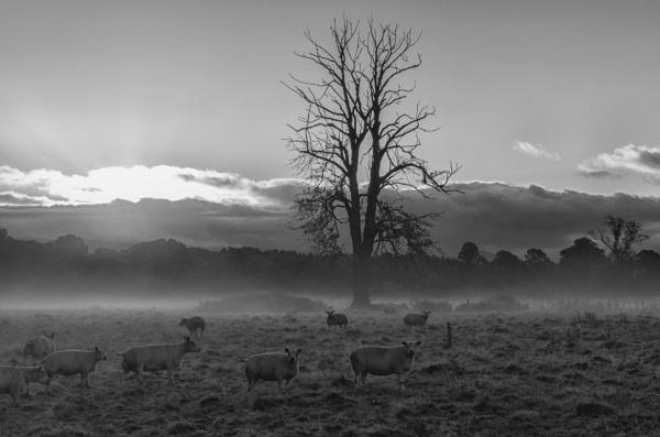 Misty sheep by BillRookery