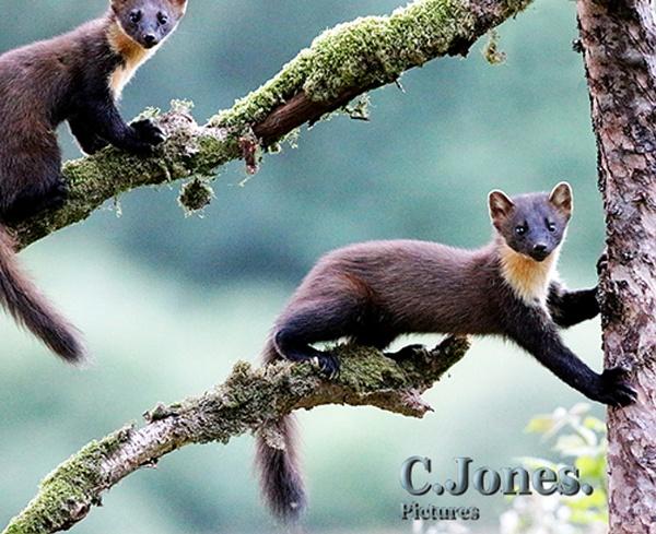 Pine Martens by cjones