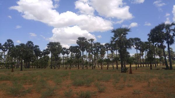 Palm Trees -