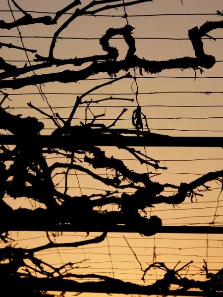 Grape tree by Savvas511
