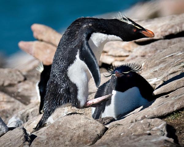 Rock Hopper penguin jumping for joy! by DavieSharp