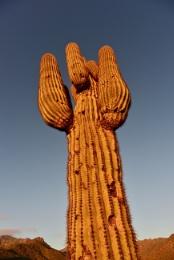 Golden Seguaro