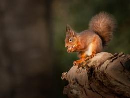 Red Squirrel in Sunlight