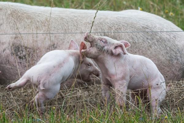 pig fight by madbob