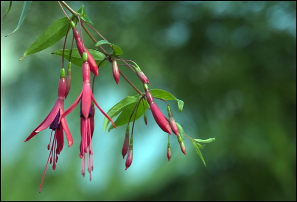 Fuchsias by digital_boi