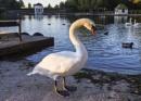 Twilight Swan by chensuriashi