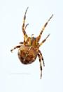 Garden Orb Spider by SurreyHillsMan