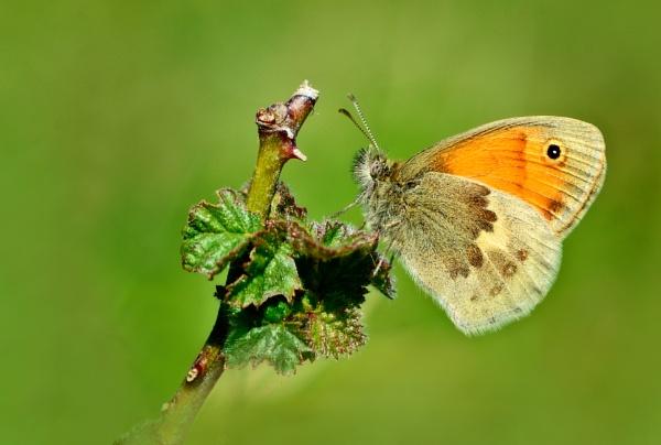 Small Heath by chalkhillblue
