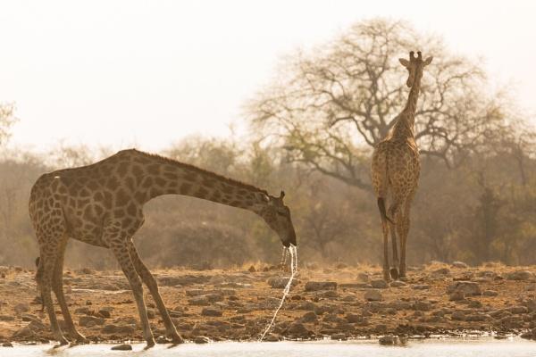 Giraffe Drinking by rontear