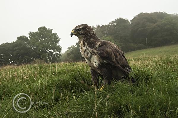 Buzzard in landscape by DARPhotography