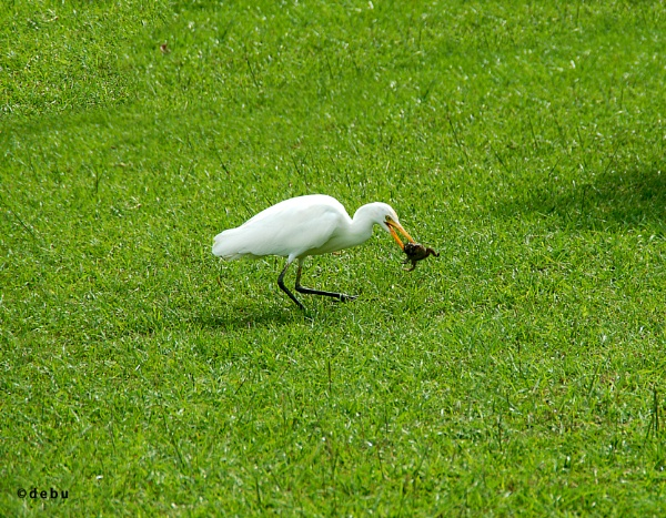 Egret Eating A Frog by debu
