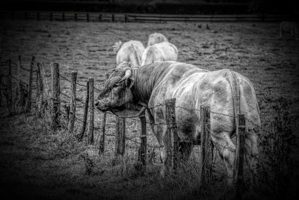 Bull. by NotLostinFrance