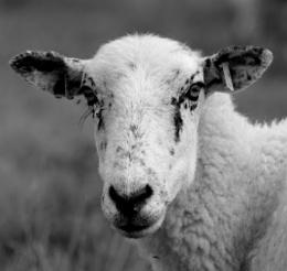 Looking Sheepish