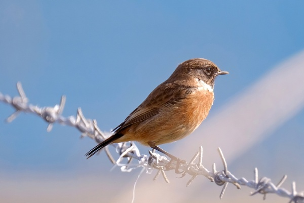 Stonechat by orts