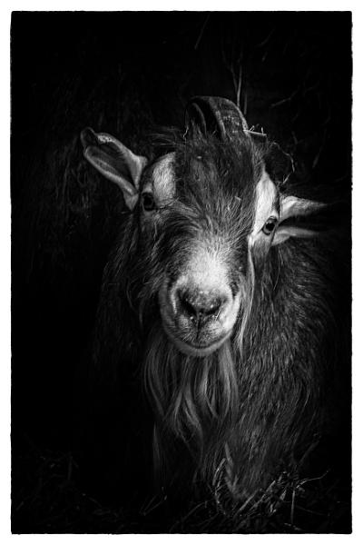 Goat 2 by vivdy
