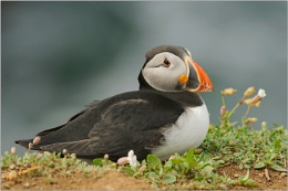 Puffin resting on leaves