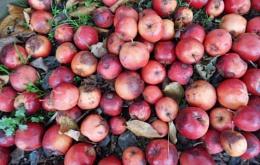 wind fall apples