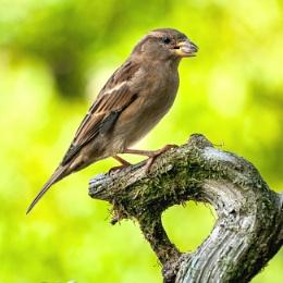 Magnificent sparrow