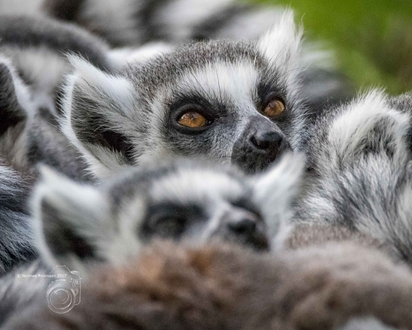 Ring Tailed Lemurs by Normanr