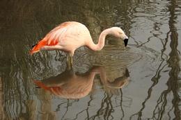 Chilean Flamingo--Phoenicopterus chilensis.