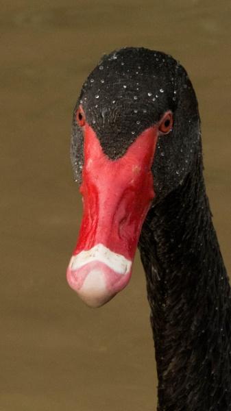 Black Swan by CoolerKing