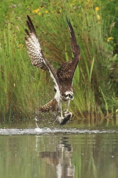 Osprey take away by deanjohn