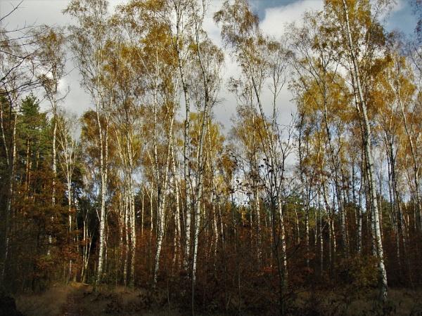 FOREST - Golden Birches by PentaxBro