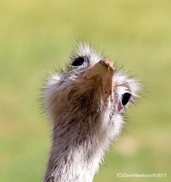 Emu by DaveNewbury