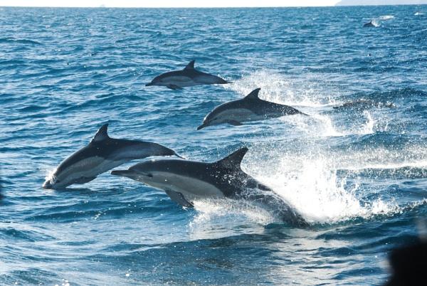 Dolphins - Bay of Plenty NZ by barryyoungnz