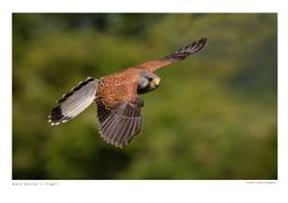 Male Kestrel in Flight