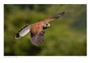 Male Kestrel in Flight by running_man