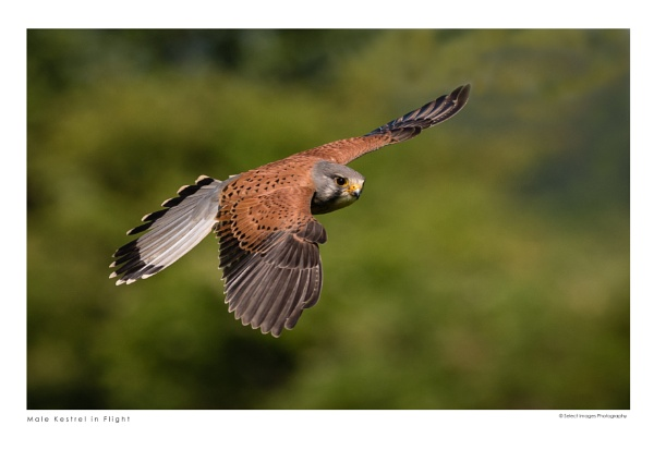 Male Kestrel in Flight by running_man